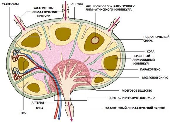 Строение лимфатического узла человека