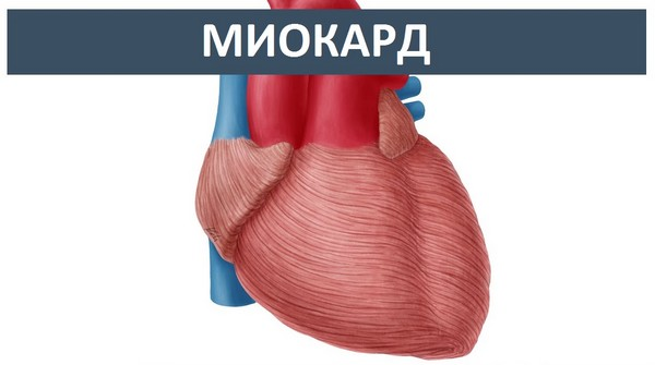 Миокард