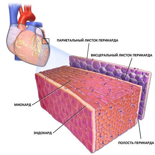 Оболочки сердца: перикард, миокард, эндокард