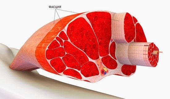 Фасция мышцы