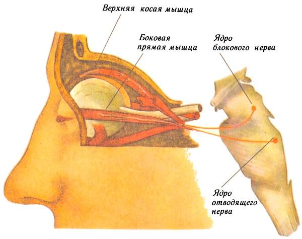 Блоковый и отводящий нервы