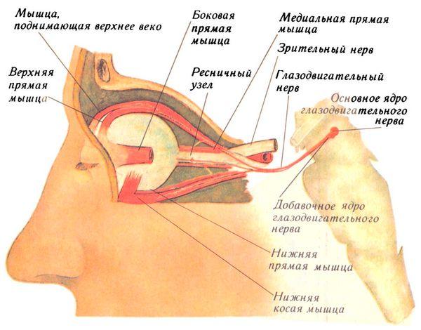 Иннервация мышц глазного яблока глазодвигательным нервом