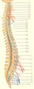 Сегменты спинного мозга
