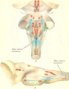 Схема локализации ядер черепных нервов