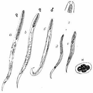 Strongyloides stercolaris - фото стронгилоид или угрицы кишечной