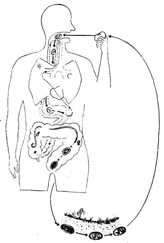 Жизненный цикл аскариды человека