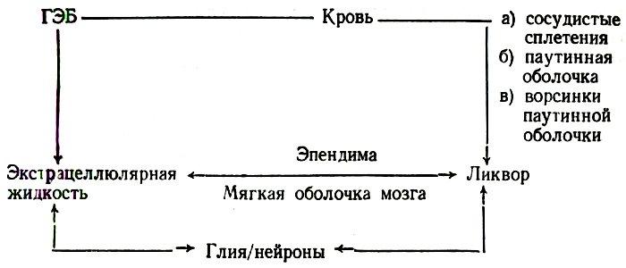 Схема связи ликвора (спинномозговой жидкости) и структур головного мозга