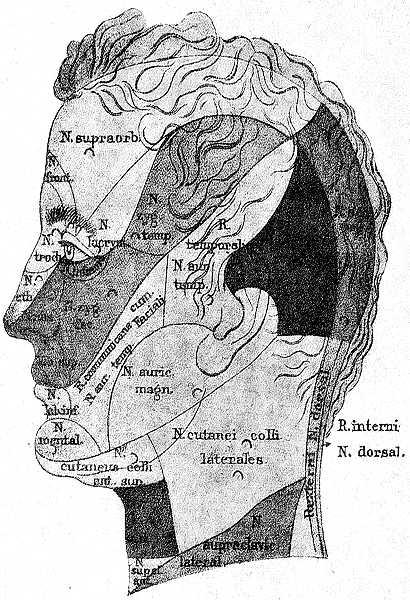 Чувствительные области головы и шеи (фото профиль)
