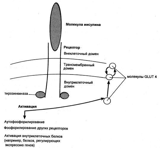Димерный рецептор инсулина и последствия инсулиновой активации тирозинкиназы
