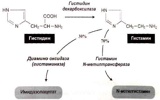 Схема синтеза гистамина в тучных клетках и базофилах