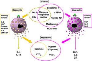 Базофилы и тучные клетки