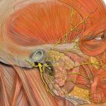 Тройничный нерв — n. trigeminus