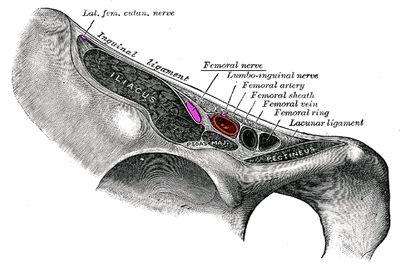 Бедренный нерв - нерв иннервирующий бедро