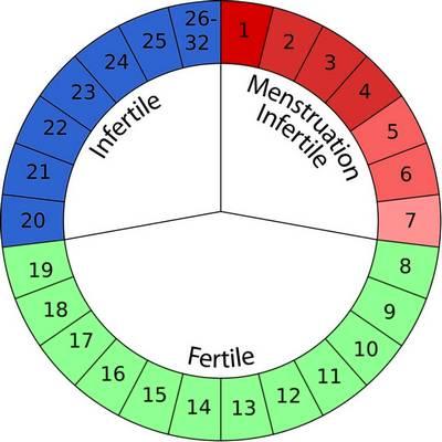 Календарь «физиологической стерильности» женщины