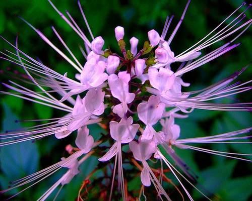 Почечный чай - Orthosiphon stamineus Benth