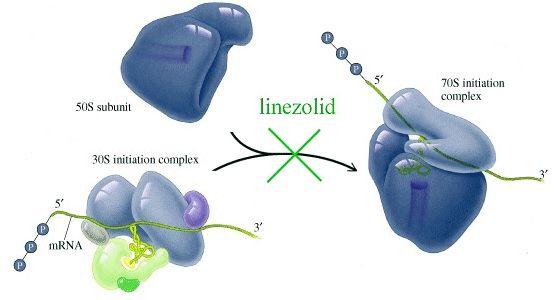 Механизм действия линезолида