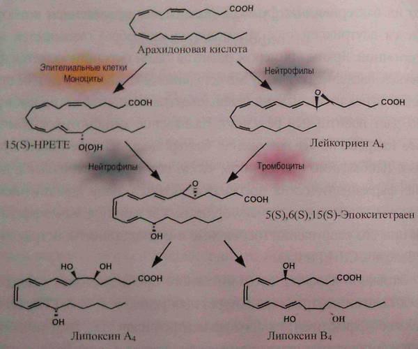 Образование липоксинов в зоне воспаления на основе клеточной кооперации