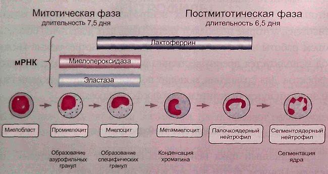 Процесс дифференцировки нейтрофилов в костном мозге