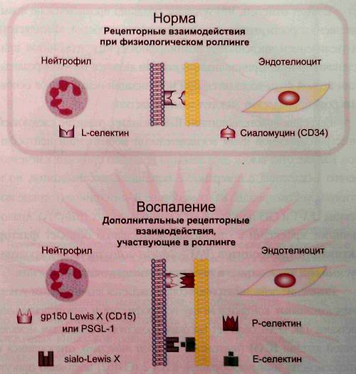 Рецепторные взаимодействия, реализуемые при физиологическом роллинге и в селектинзависимую фазу воспалительной мобилизации нейтрофилов