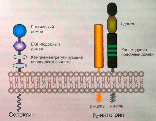 Схема строения селектина и b2-интегрина
