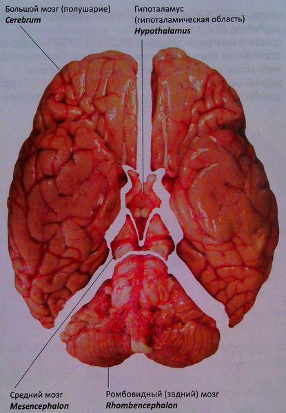 Головной мозг. Обзор отделов со стороны основания мозга