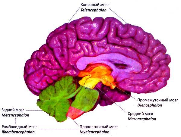 Отделы головного мозга. Медиальная поверхность